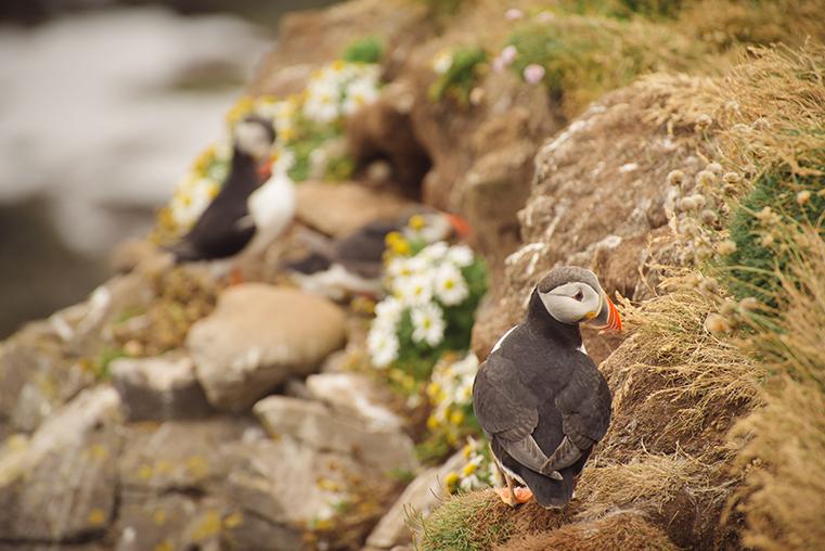 01.Maskonury Islandia - Latrabjarg - fiordy zachodnie - podroz z dzieckiem