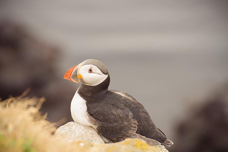 05.Maskonury Islandia - Latrabjarg - fiordy zachodnie - podroz z dzieckiem